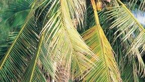 Los cocoteros crecen de forma dinámica, incluso en suelos pobres.