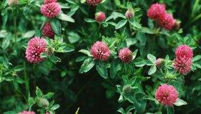 Los suplementos hechos de trébol rojo también se han utilizado durante años para ayudar a aumentar los niveles de estrógeno.