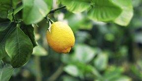 Considera la posibilidad de tener tu propio árbol de limón en el interior.