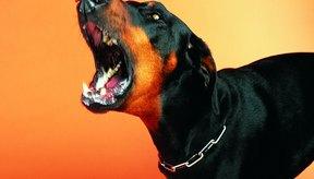 Aproximadamente el 97 por ciento de los casos de rabia en humanos resultan de mordidas de perros.