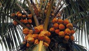 La leche de coco se hace de la pulpa del coco maduro.