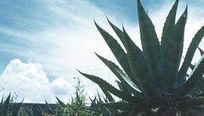 La mayor parte de la miel de agave se obtiene del agave azul.