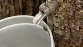 El jarabe de arce puro se extrae de los árboles de arce.