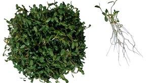 Los brotes de alfalfa podrían causar enfermedades como la salmonelosis.