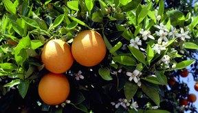 La miel de flor de naranjo (miel de azahares) se obtiene a partir de una variedad de flores de cítricos distintos.