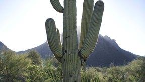 Los cactus son muy bonitos pero te pueden lastimar.