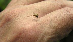 Los mosquitos no son los únicos insectos que se alimentan de sangre humana.