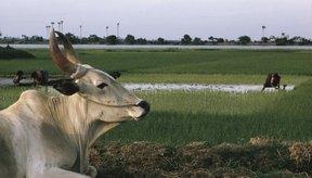 La joroba del toro Brahma es un mecanismo de supervivencia formado a través de la evolución.
