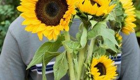 Las semillas de girasol brindan nutrientes beneficiosos a tu dieta.