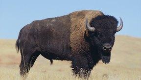 Muchos bisontes son criados por el alto valor nutricional de su carne.