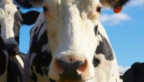 No debes comer lengua de vaca muy seguido.