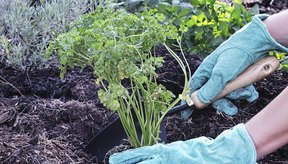 Mujer plantando perejil.