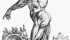Los músculos están formados por células especializadas que les permiten realizar sus funciones adecuadamente.
