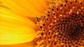 El aceite de girasol es rico en nutrientes.