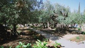 El olivo ha sido llamado el