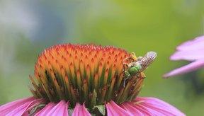 Primer plano de una abeja sobre una flor de equinácea.