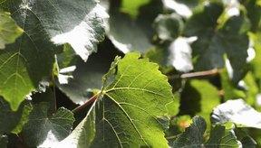 Las hojas de parra son ligeramente antiinflamatorias.