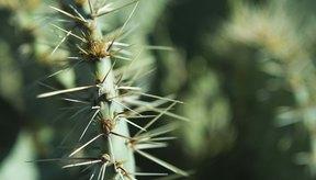 Las espinas de los cactus pueden ser doloras si se incrustan en la piel.