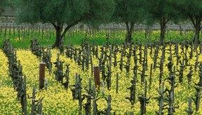 El aceite de semilla de uva proviene de ciertas uvas que también se utilizan para el vino.