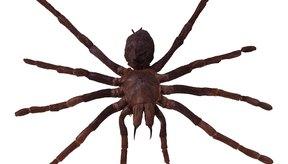 Las arañas de violín es una especie peligrosa.