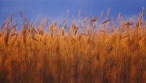 Los granos como el trigo y la cebada contienen gluten.