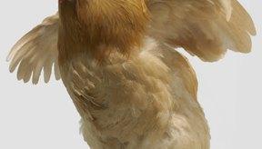 Los pollos alimentados con maíz engordan rápidamente.