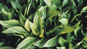 Las hojas de stevia son similares a las de menta.