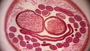Los gusanos redondos varían en tamaño y pueden ser microscópicos o visibles a simple vista.