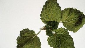El bálsamo de melisa (Lemon Balm) se puede utilizar internamente o por vía tópica para ayudar a aliviar el estrés.