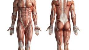 El glúteo mayor es el músculo más grande del cuerpo humano