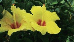 Para fines medicinales, se utiliza cada parte de la planta de hibisco.