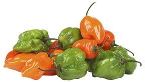 Los habaneros uno de los chiles más picantes son ricos en capsaicina.