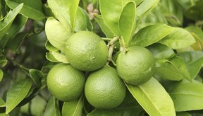 Las hojas de limón se utilizan con frecuencia en la cocina tailandesa.