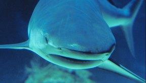 Los tiburones poseen grandes cantidades de cartílago.