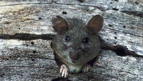 Las ratas portaban las pulgas que contagiaban la peste bubónica.