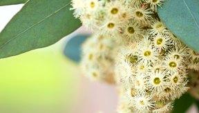 Las flores de eucalipto crecen en un árbol.