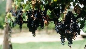 Hojas de la uva tienen una rica historia de beneficios para la salud.