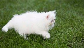 Si tu gatito está enfermo, quizás puedas tratarlo con aceite de oliva.