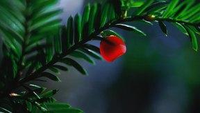 El tejo es un árbol de hoja perenne que da bayas rojas.
