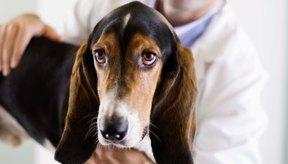 Si el perro tiene una herida por una mordida, llévalo al veterinario lo antes posible.