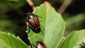 Los escarabajos no pican, pero algunas especies muerden, producen ampollas y ocasionan otro tipo de molestias a los humanos.