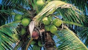 El agua de coco proviene de cocos tiernos.