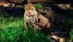 Los leopardos se han convertido en una especie en peligro de extinción debido a la deforestación.