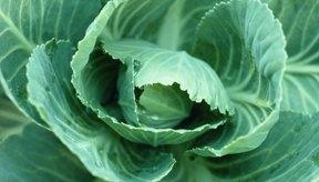 La col contiene rafinosa y provoca gases durante la digestión.