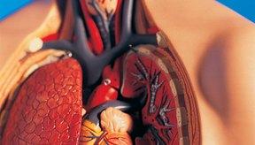 Los pulmones se encuentran debajo de las costillas y frente al corazón.