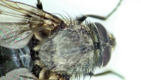 La mosca doméstica es una plaga en los restaurantes sucios.