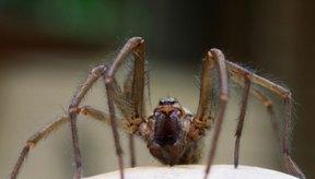 Las arañas tienen un sistema circulatorio abierto.
