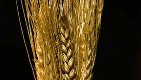 El germen de trigo es la parte más nutritiva del grano.