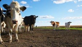 Los sistemas digestivos de las vacas y los humanos difieren en muchas formas.