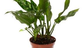 La respiración celular de las plantas se puede observar usando una envoltura de plástico alrededor de las hojas individuales.